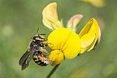 Cotton bee (Anthidium oblongatum) on Common Bird's-foot-trefoil (Lotus corniculatus) flowers, Regional Natural Park of Vosges du Nord, France