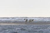 Ours polaire (Ursus maritimus) et jeune marchant sur le rivage, Kaktovik, Ile Barter, Refuge faunique national arctique, Alaska, USA