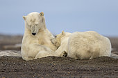 Ours polaire (Ursus maritimus) allaitement sur le rivage, Kaktovik, Ile Barter, Refuge faunique national arctique, Alaska, USA