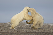 Polar Bear( Ursus maritimus ) conflict cubs along a barrier island outside Kaktovik, Every fall, polar bears (Ursus maritimus) gather near Kaktovik on the northern edge of ANWR, Barter Island, Arctic National Wildlife Refuge, Alaska
