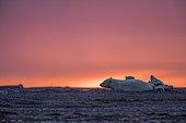Ours polaire (Ursus maritimus) femelle et jeune au repos au coucher du soleil sur le rivage, Kaktovik, Ile Barter, Refuge faunique national arctique, Alaska, USA