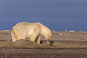 Polar Bear( Ursus maritimus ) along a barrier island outside Kaktovik, Every fall, polar bears (Ursus maritimus) gather near Kaktovik on the northern edge of ANWR, Barter Island, Arctic National Wildlife Refuge, Alaska