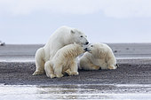 Polar Bear( Ursus maritimus ) with cubs along a barrier island outside Kaktovik, Every fall, polar bears (Ursus maritimus) gather near Kaktovik on the northern edge of ANWR, Barter Island, Arctic National Wildlife Refuge, Alaska