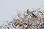 Pale chanting goshawk (Melierax canorus), adult perched on a tree with a prey : a snake, Central Kalahari Game Reserve, Bostwana