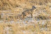 Yellow Mongoose (Cynictis penicillata), Savuti National Park, Bostwana