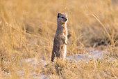 Yellow Mongoose (Cynictis penicillata) standing, Savuti National Park, Bostwana