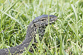 Nile Monitor (Varanus niloticus), in the grass, Chobe river, Chobe National Park, Bostwana