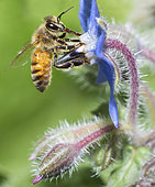 Abeille domestique (Apis mellifera) sur bourrache (Borago officinalis), Parc naturel régional des Vosges du Nord, France