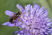 Painted Nomad Bee (Nomada fucata) on Scabiosa, Regional Natural Park of Vosges du Nord, France