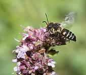 Short Sharp-tail (Coelioxys afra) on flower, Regional Natural Park of Vosges du Nord, France