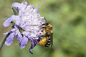 Hairy legged Mining Bee (Dasypoda hirtipes) on Knautia, Regional Natural Park of Vosges du Nord, France