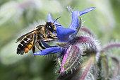 Mégachile (Megachile ligniseca) femelle sur la bourrache (Borago officinalis), abeilles solitaires, Parc naturel régional des Vosges du Nord, France