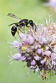 Mason wasp (Leptochilus regulus) on Mint flower, Regional Natural Park of Northern Vosges, France
