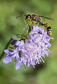 Asian Mud-dauber Wasp (Sceliphron curvatum) female on Knautia, Regional Natural Park of Northern Vosges, France