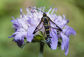 Clearwing moth (Synanthedon spuleri) on Knautia, Regional Natural Park of Northern Vosges, France