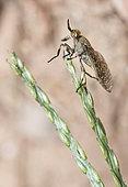 Horsefly (Haematopota pluvialis) on umbellifera, Regional Natural Park of Northern Vosges, France