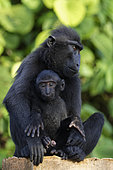 Celebes crested macaque (Macaca nigra) and young on a branch, Tangkoko National Park, Sulawesi, Indonesia