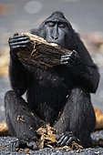 Celebes crested macaque (Macaca nigra) biting a piece of wood on black sand, Tangkoko National Park, Sulawesi, Indonesia