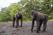 Two Celebes crested macaques (Macaca nigra) on black sand, Tangkoko National Park, Sulawesi, Indonesia
