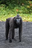 Celebes crested macaque (Macaca nigra) on black sand, Tangkoko National Park, Sulawesi, Indonesia