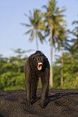 Portrait of Celebes crested macaque (Macaca nigra) threatening, Tangkoko National Park, Sulawesi, Indonesia