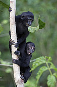 Young Celebes crested macaques (Macaca nigra) on a trunk, Tangkoko National Park, Sulawesi, Indonesia