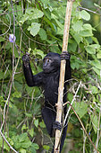 Young Celebes crested macaque (Macaca nigra) on a trunk, Tangkoko National Park, Sulawesi, Indonesia