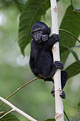 Young Celebes crested macaque (Macaca nigra) on a branch, Tangkoko National Park, Sulawesi, Indonesia