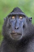 Portrait of Celebes crested macaque (Macaca nigra), Tangkoko National Park, Sulawesi, Indonesia