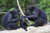 Family of Celebes crested macaque (Macaca nigra) on a branch, Tangkoko National Park, Sulawesi, Indonesia