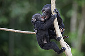 Young Celebes crested macaques (Macaca nigra) on a branch, Tangkoko National Park, Sulawesi, Indonesia