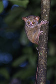 Portrait of Spectral Tarsier (Tarsius tarsier) on a trunk, Tangkoko National Park, North Celebes, Indonesia