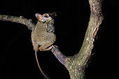 Portrait of Spectral Tarsier (Tarsius tarsier) on a branch, Tangkoko National Park, North Celebes, Indonesia