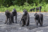 Two Celebes crested macaques (Macaca nigra) on black sand, Tangkoko National Park, Sulawesi, Indonesia