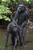 Celebes crested macaques (Macaca nigra) in water, Tangkoko National Park, Sulawesi, Indonesia