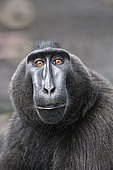 Portrait of Celebes crested macaque (Macaca nigra), Tangkoko National Park, Sulawesi, Indonesia
