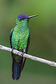 Violet-capped Woodnymph (Thalurania glaucopis) perched on a branch in the Atlantic rainforest of southeast Brazil.
