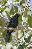 Sinaloa crow (Corvus sinaloae) with fruit in beak, Nayarit, Mexico