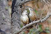 Spotted Wren (Campylorhynchus gularis) pair, Nayarit, Mexico