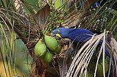 Hyacinth Macaw (Anodorhynchus hyacinthinus) eating palm nuts, Pantanal, Brazil