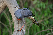 Slate-colored Hawk (Buteogallus schistaceus) seeking prey under the bark, Pantanal, Brazil