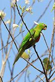 White-eyed Parakeet (Aratinga leucophthalma) on a branch, Pantanal, Brazil