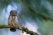 European Owlet (Glaucidium passerinum) on a branch, Old Vosges forest, Vosges (88), France