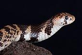 Serpent au nez renforcé (Aspidelaps scutatus fulafula)