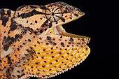Mozambique flapped necked chameleon (Chamaeleo dilepis petersii)