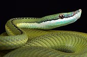 """Baron's green racer (Philodryas baroni) is a rear-fanged venomous snake species with a remarkable """"nose"""". They are found in the Argentina,Paragauay and Bolivia triangle."""