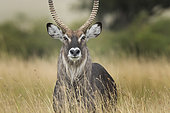 Waterbuck (Kobus ellipsiprymnus). A Waterbuck walks through the long grass in the Maasai Mara, Kenya.