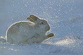 Mountain Hare (Lepus timidus). A Mountain Hare digs for food in the Cairngorms National Park, UK.