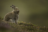 Mountain Hare (Lepus timidus). A Mountain Hare grooms in the late evening light in the Cairngorms National Park, UK.