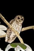 Mottled Owl (Strix virgata), Nayarit, Mexico